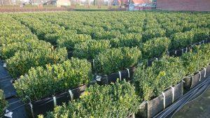 Buxus sempervirens crop
