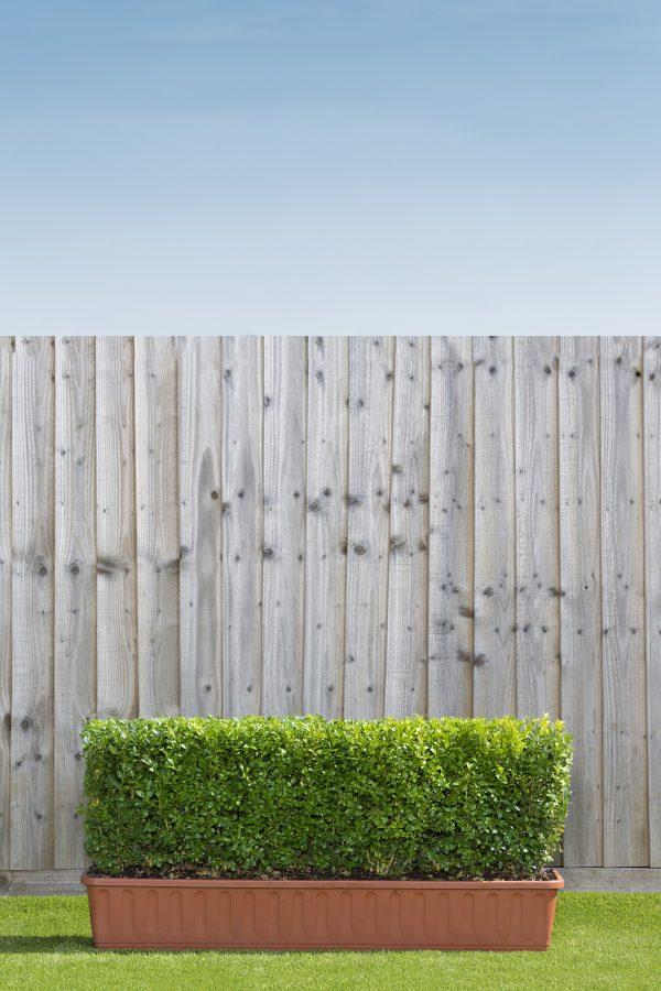 Readyhedge Common Box (Buxus sempervirens) trough hedge