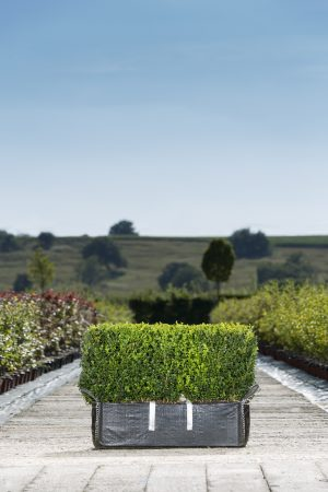 Buxus sempervirens Readybag