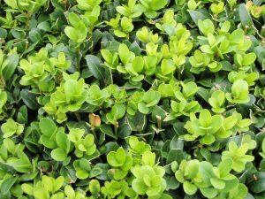Buxus sempervirens Foliage