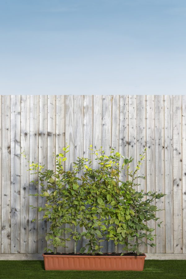 Carpinus betulus trough