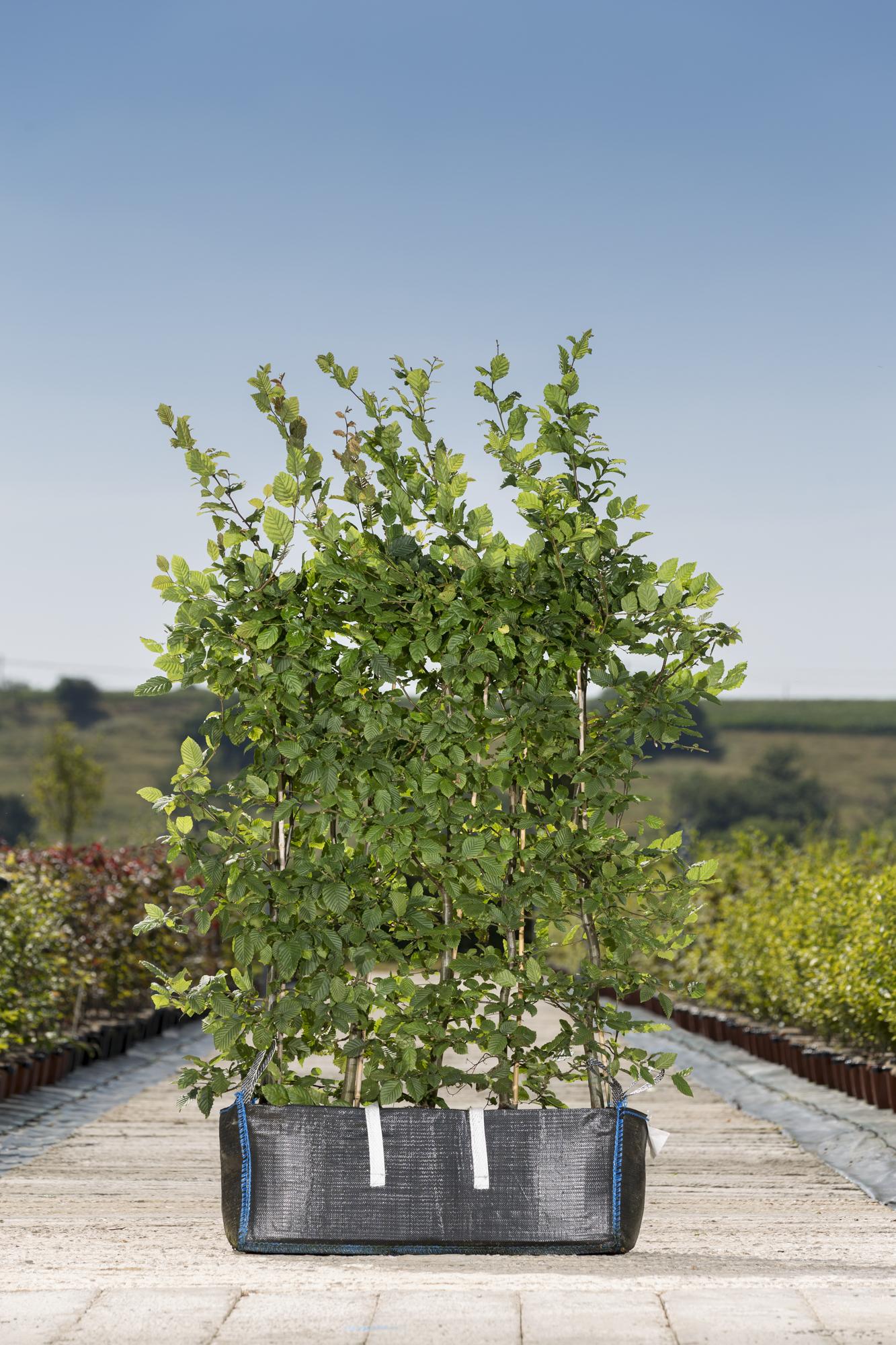 Carpinus betulus 1yr rhb 1