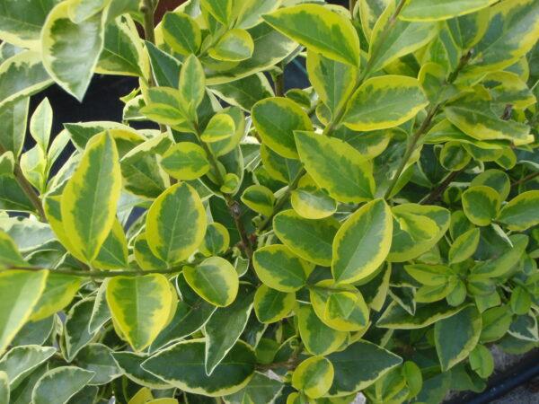 Ligustrum Aureum Foliage