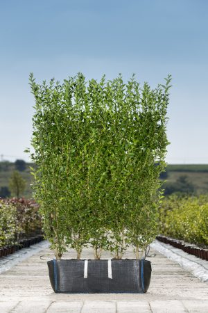 Ligustrum ovalifolium readybag