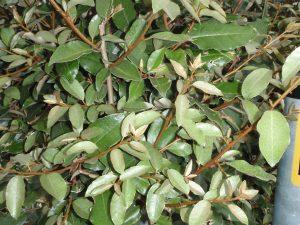 Elaeagnus eb. Compacta Foliage