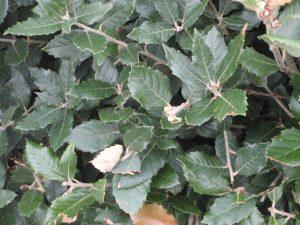 Quercus ilex Foliage