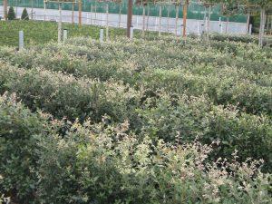 Quercus ilex crop