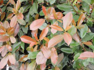 Photinia Red Robin foliage