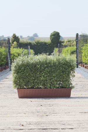 Pittosporum ten. Golf Ball