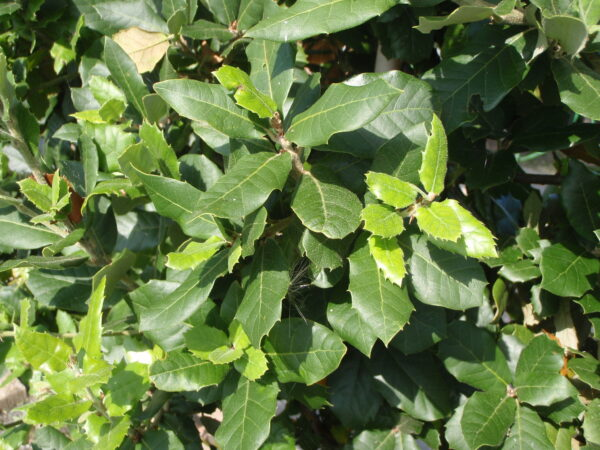 Quercus ilex 2