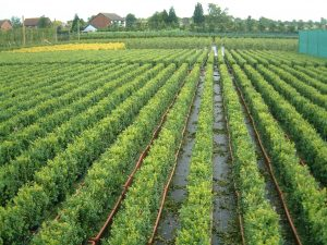 Common Box (Buxus sempervirens) trough hedge crop