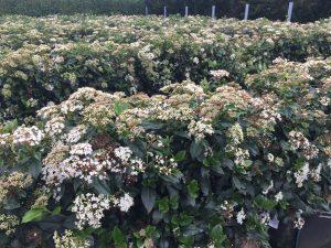 Viburnum tinus flowers
