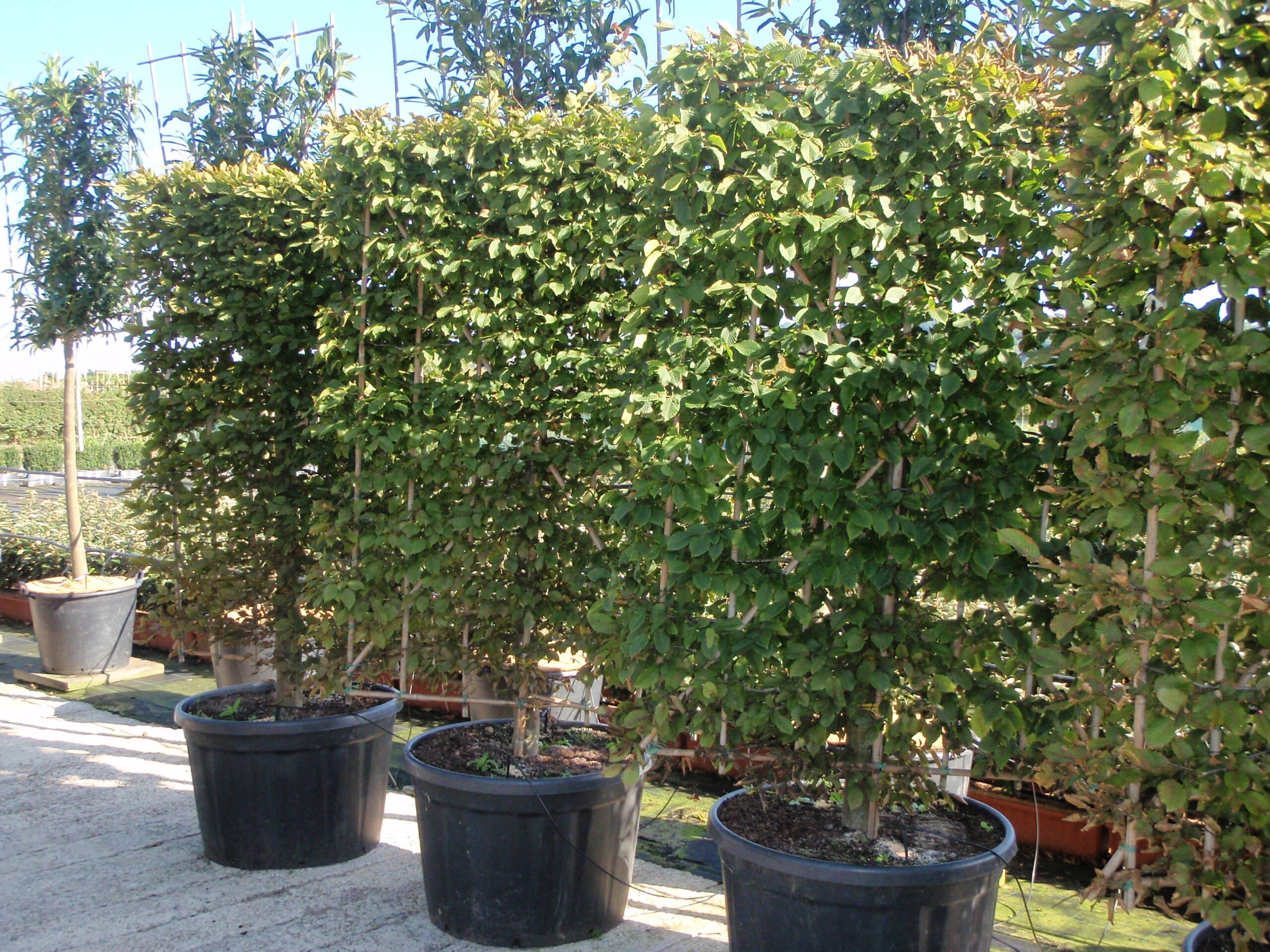 carpinus betulus LP scaled 1