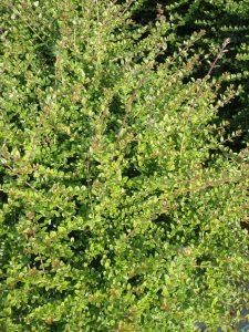 Lonicera nitida Foliage