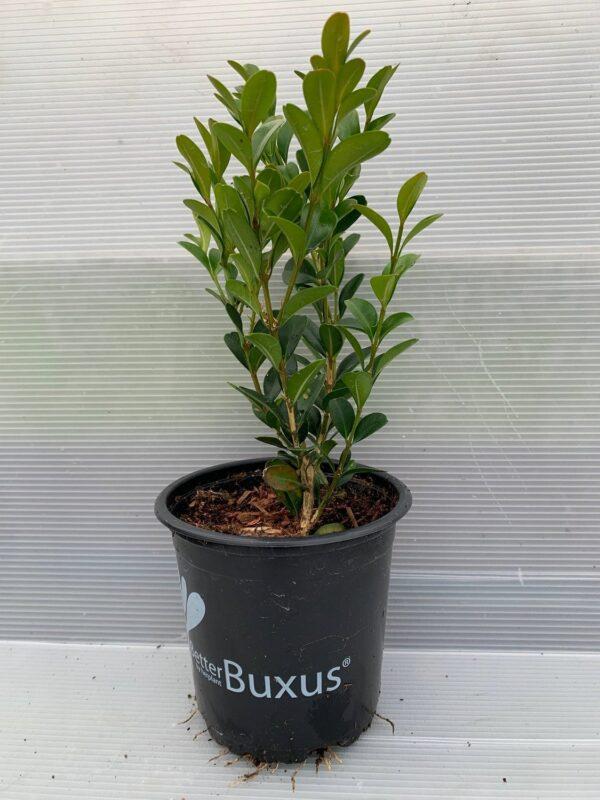 Buxus he1 2