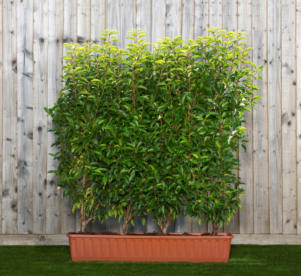 Prunus lus. Angustifolia 2yr tr rec