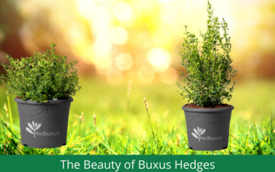 The Beauty of Better Buxus Hedges