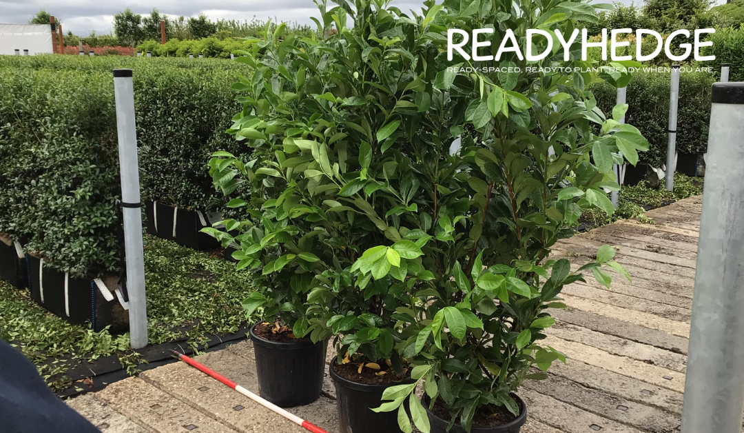 A Guide to Laurel Hedging