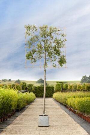 Quercus ilex 180cls