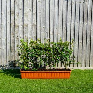 Quercus ilex trough